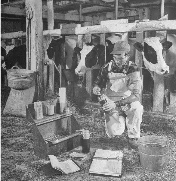 Curtiss Breeding Services Inseminator Preparing to Service the Cattle, 1942