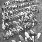Cows at Curtiss Farm, 1951