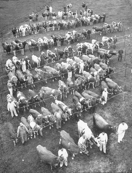 Cows at Curtiss Farm, 1951