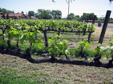 Hopper Creek vineyard, first plantings