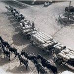 Miller & Lux teams hauling grain to Salt Slough warehouse, 1890s