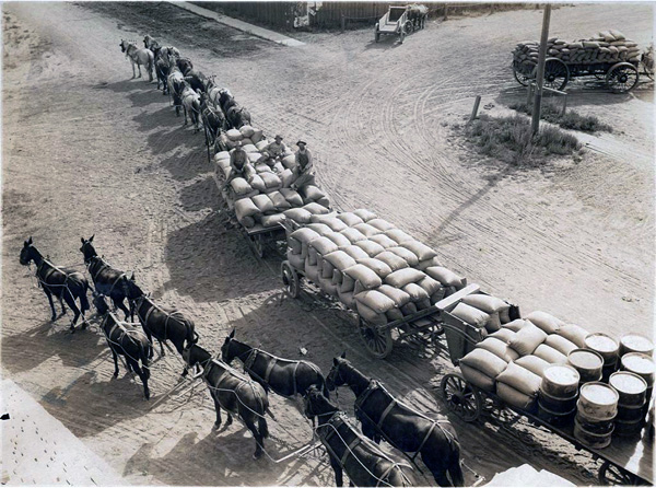 Miller & Lux teams hauling grain to Salt Slough warehouse, 1890s