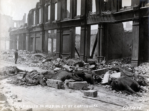 Cattle killed on Mission Street by 1906 San Francisco earthquake